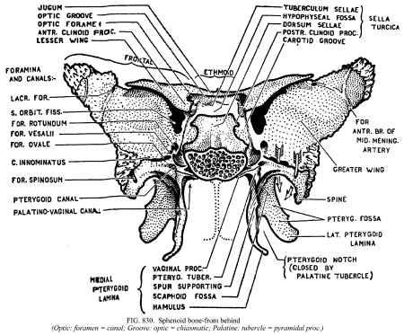 sphenoid bone diagram - posterior aspect, Human body